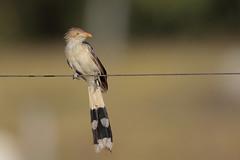 Guira Cuckoo (Greg Lavaty Photography) Tags: guiracuckoo guiraguira brazil august matogrosso pantanal wetlands fly prey outdoors bird nature wildlife