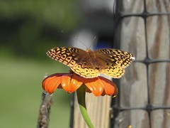 Fritillary (Explored #306) (FluvannaCountyBirder754) Tags: fritillary butterfly insect invertebrate fluvannacounty pleasantgrovepark virginia animal creature nature outdoor outdoors outside