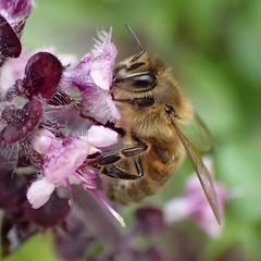 Purple Aroma. Ocinum basilicum 'Purpurascens', Red Basil, and Honeybee, Apis mellifera, Hortus Botanicus, Amsterdam, The Netherlands (Rana Pipiens) Tags: insect apismellifera pollen nectar ocinumbasilicumpurpurascens memory pindosmountainsgreece taygetusmountainsgreece monopati honey sleepingbag sun hike sweetbasil ypovrichio straydogs johnscarchuk josephlent leefarmcoventryconnecticutusa universityofconnecticut