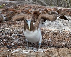 And I'll Start My Take-Off With My Wings Like This (ggppix) Tags: bird 鳥 vogel πουλί 鸟 птица madár kuş uccello oiseau pájaro pássaroطائر