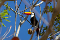 IMG_8190 Tucano - Pantanal - Brasil (Bê Prates) Tags: nature fazendasanfrancisco pantanal brasil brazil 1740mm centrooeste canon matogrossodosul 135mm miranda diversão animals animal pantaneiro família feriado holiday br