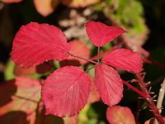 Bramble Red (Karls Kamera) Tags: red leaves bramble thorns blackberry