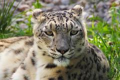 DSC06787 (Christine Gerhardt) Tags: deutschland flickrtreffen20180909 pantherauncia schneeleopard stuttgart tierfoto wilhelma zoo