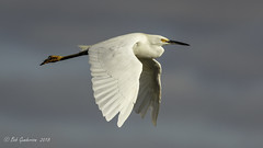 Snowy Egret (Bob Gunderson) Tags: alamedacounty arrowheadmarsh birds california eastbay egrets egrettathula northerncalifornia snowyegret wadingbirds