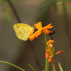 Common Grass Yellow (Vidya...) Tags: commongrass yellow butterfly cosmos flowers nature delicate