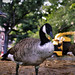 Geese in Prospect Park