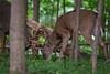 PretzelLogic (jmishefske) Tags: 2018 d850 buck fight spar rootriver fall september head wildlife antler classic rack wisconsin parkway nikon whitetail rut milwaukee deer county