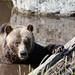 Grizzly Bär in Kanada