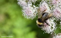bee...pollen...2 (lucaricchieri) Tags: ape api bee bees pollen polline natura nature explore macro