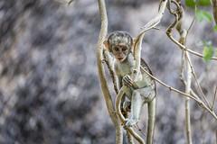Baby vervet monkey (Sheldrickfalls) Tags: vervet vervetmonkey satara sataracamp krugernationalpark kruger krugerpark mpumalanga southafrica