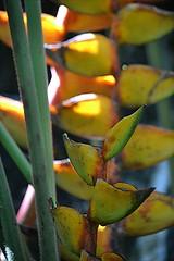 Golden Heliconia! (jungle mama) Tags: heliconia gold yellow red stalk fairchildtropicalbotanicgarden fairchildgarden miami susanfordcollins canna strelitzia banana musaceae heliconios