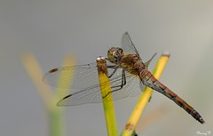 Libelle - Dragonfly (Nancy V.) Tags: libelle heidelibel libel insect nature natuur plant garden