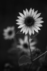 Flower in contrast (Middle aged Nikonite) Tags: black white yolo california bypass landscape bokeh depth field flower plant nature contrast nikon d750