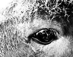 In The Eye of the Beholder (mrdamcgowan) Tags: loop london londonist blackandwhitelondon monochrome horse southlondon closeuphorseeye