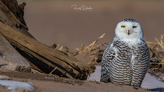 Snowy Owls of New York | 2018 - 07