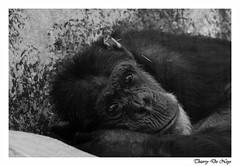 Mélancolie / Melancholy (Thierry De Neys - Photographies) Tags: thierrydeneys zoodebeauval chimpanzé posture noiretblanc regard pelage hominidé grandsinge visage portrait mélancolie soupçondironie france chimp blackandwhite look coat hominid greatapes face melancholy hintofirony chimpansee houding zwartenwit kijken jas hominide mensapen gezicht portret melancholie ironie frankrijk chimpancé postura blancoynegro mirar abrigo homínido grandessimios cara retrato melancolía toquedeironía francia schimpanse haltung schwarzundweis schauen mantel hominiden menschenaffen gesicht porträt hauchvonironie frankreich 黑猩猩,姿勢,黑色和白色,看,外套,原人,大猿,臉,肖像,憂鬱,諷刺的暗示,法國, scimpanzé biancoenero sguardo cappotto ominide grandiscimmie volto ritratto malinconia accennodiironia nb bw