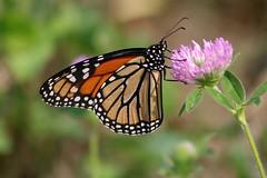 2018 Monarch Butterfly 043 - Danaus Plexippus (Chrisser) Tags: insects insect butterflies butterfly monarch danausplexippus nature ontario canada canoneosrebelt6i canonef75300mmf456iiiusmlens nymphalidae
