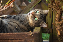 A special plant (FocusPocus Photography) Tags: sethi katze kater cat chat gato tier animal tabby haustier pet planzgefäss planter holz wood