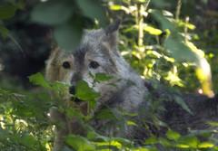 Coby - Gray wolf  (Canis lupus) (CGDana) Tags: washington dc zoo nattional smithsonian animal mammal canon 7d