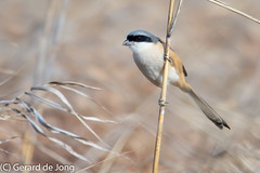 Long-tailed Shrike (igerarddejong) Tags: bird longtailedshrike laniusschach plaats poyanglake jiangxi china vogel