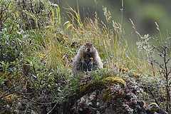 Hoary Marmot (Marmota caligata) (JRWhitaker1) Tags: denalinationalpark rodent marmot hoarymarmot alaska savageriver mammal marmota caligata