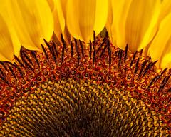 Layers of summer (FocusPocus Photography) Tags: sonnenblume sunflower blume flower sommer summer makro macro