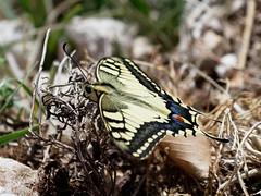 EM161574_DxO.jpg (riccardof55) Tags: farfalla