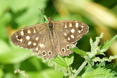 Speckled Wood (hedgehoggarden1) Tags: speckledwood butterfly lepidoptera butterflies insects sonycybershot nature wildlife norfolk eastanglia uk sony gooderstonewatergardens