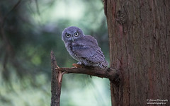Eastern Screech Owlet (salmoteb@rogers.com) Tags: bird wild outdoor nature ontario canada eastern screech owlet animal perch tree toronto