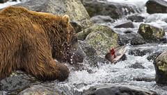 The last jump (paolo_barbarini) Tags: kamchatka wildlife orsi bears animali animals fishing salmon mammals acqua water nationalgeographic animalplanet