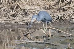 DSC_1069 (P2 New) Tags: 2017 aigrettebleue animaux ardéidés ciconiiformes date guyane kourou novembre oiseaux pays