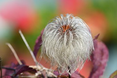Clematis-seeds (evisdotter) Tags: clematis seeds frön macro bokeh colors sooc flower