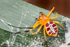 Crab Spider (Tom's Macro and Nature Photographs) Tags: macrophotography arachnids spiders crabspiders thomisidae mozambique gorongosa