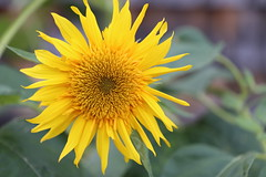 IMG_8753 (Bob90901) Tags: flower sunflower portland maine afternoon summer yellow green rpg90901 depthoffield canon 6d canonef70200mmf28lisiiusm canon70200f28lll 2018 september 1700 plant sooc