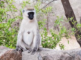 Affe am Rastplatz in Tansania