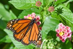 DSC_7684 (greenjay2) Tags: butterflies insects male monarchdanausplexippus status