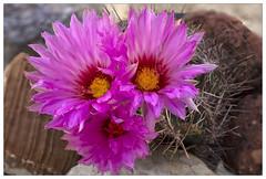 Focus-stacked Cactus