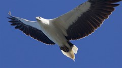 Searching below /2 (Geoff Main) Tags: australia bird birdofprey birdinflight eagle nsw nswsouthcoast whitebelliedseaeagle