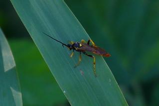 Wespenähnlicher Käfer oder Wespe