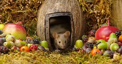 wild house mouse in log pile  with fruits and berry's (8) (Simon Dell Photography) Tags: wild george log pile house mouse nature garden animal rodent cute fun funny summer fruits berries berrys display lots bounty moss covered simon dell photography sheffield 2018 aug cool awesome countryfile ears close up high detail cards design