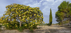 la acacia, el ciprés y los pinos (carlosjunquero) Tags: acacia pino ciprés árbol