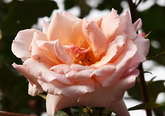 DSC_1016 (PeaTJay) Tags: nikond750 reading lowerearley berkshire macro micro closeups gardens outdoors nature flora fauna plants flowers rose roses rosebuds