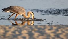 Making a Splash (dianne_stankiewicz) Tags: heron splash greatblueheron fishing sand beach coastal nature wildlife