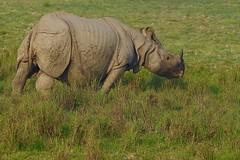 Greater One-horned Rhino (cirdantravels (Fons Buts)) Tags: rhinoceros unicornis rhino neushoorn rhinocéros nashorn pantserneushoorn rhinocerotidae perissodactyla dudhwa tigerreserve iucnredlist