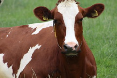 Olympic  Nova  Delegate (excellentzebu1050) Tags: dairycows livestock cattle cow closeup animal animalportraits farm farmer field outdoor summer2018 coth5