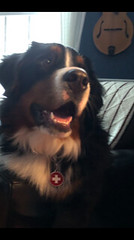 BoomerAndJeff (Alpen Schatz - Mary Dawn DeBriae) Tags: happy customer alpenschatz bernesemountaindog dog swissdogcolar hunterswisscrosscollar doggles stein