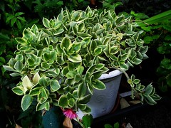 __09aptenia-variegata