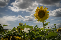 Sunflowers (Notley Hawkins) Tags: httpwwwnotleyhawkinscom notleyhawkinsphotography notley notleyhawkins 10thavenue sunflower sunflowers floral flora flower 2018 summer bottomland riverbottoms missouririverbottoms boonecountymissouri bocomo missouri september wiltonmissouri sky clouds cloudysky