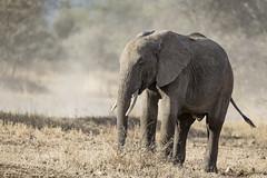 Elephant (Michael Zahra) Tags: africa tanzania safari travel nature wildlife animal mammal conservation outdoors grasslands savannah nomad adventure elephant mother baby