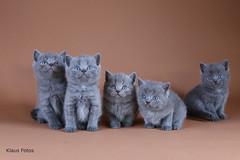 JPG_3848 (British Shorthair) Tags: kittens kitten british shorthair cat cats funny studio pet beautiful wanderful amazing